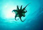 Two-spotted octopus, silhouetted over a giant kelp forest reef ledge off Santa Rosa Island, California.