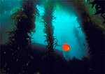 Brilliantly orange California garibaldi swims over its reef territory in a giant kelp forest at Santa Catalina Island, California.