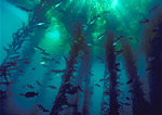 Tightly focused beams of sunlight burst through the surface canopy of a giant kelp forest while a school of blue rockfish lingers below.