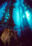 Giant kelp forest, upward wide angle view showing holdfast in lower left with towering kelp fronds streaming towards the ocean's surface sunlight 70 feet above.