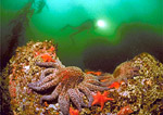 Scuba diver explores a giant kelp forest reef ledge with purple sunflower star and orange sea bats.