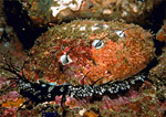 Abalone feeding on a giant kelp forest reef ledge at 70-foot depth.