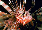 Lionfish portrait, anterior/lateral view showing stinging fin spines.