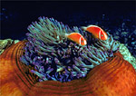 Pair of pink anemonefish hover over their host anemone.
