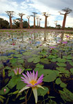 Purple water lily floats in foreground of 400-600 year old boabob forest on the southwest coast of Madagascar.