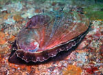 A pink abalone, with yet another smaller hitch-hiking abalone on top of its shell,  grazes on a giant kelp forest reef ledge at approx. 40-foot depth in Monterey Bay, Monterey, California.
