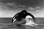 "Keiko, the male killer whale star of Warner Brothers' ""Free Willy"" feature film, breaches off the coast of Iceland after his release back into his native waters near Heimaey Island in the Westman Island group."