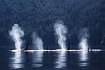 Backlit vapor from their exhaled breath reveals a pod of killer whales silhouetted against the coast of British Columbia, during the whales' summer salmon feeding season.