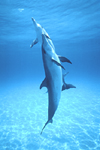 Three Atlantic spotted dolphins ascend from the ocean floor at Little Bahama Bank, near Grand Bahama Island.