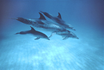 A pod of Atlantic spotted dolpins cruises over the sandy bottom at Little Bahama Bank, near Grand Bahama Island.