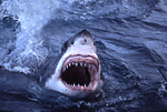 Its powerful jaws agape with razor-sharp serrated teeth, a great white shark breaches through the ocean's surface at the Neptune Islands, South Australia.