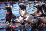 Four California sea lions perform a balancing act, while hauled out on a piece of floating wood in Monterey Harbor, Monterey, California. The individual on the far left is suffereing from a deep gash to its neck caused monofiliment netting.