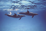A pair of adult Atlantic spotted dolphins swims just beneath the ocean surface at Little Bahama Bank, near Grand Bahama Island.