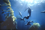 A pod of California sea lions perform an underwater ballet in a giant kelp forest at Santa Barbara Island, California.