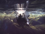 A California sea otter swims just below the surface of Monterey Bay, within  the canopy of a giant kelp forest off Monterey, California.