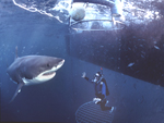 A great white shark investigates a diver in an experimental tubular plastic (Lexan) anti-shark cage as it floats tethered close to the ocean's surface at the Neptune Islands, South Australia.