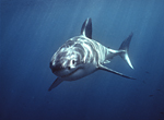 A great white shark swims just beneath the ocean's surface at the Neptune Islands, South Australia.