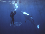 A great white shark gently rubs its nose against a plastic (Lexan) anti-shark tube designed by famed Australian diver, Rodney Fox, as Fox photographs from inside.