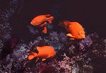 A small school of garibaldi hover over a deep reef ledge decorated with purple coralline algae in the deep recesses of a giant kelp forest at Santa Barbara Island, California.