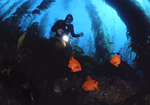 On a deep reef ledge a diver discovers a small school of garibaldi in a giant kelp forest at Santa Catalina Island, California.