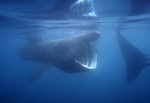 A school of basking sharks swims just beneath the ocean'surface in the Santa Barbara Channel near Carpenteria, California. The individual at left is approximately 20-feet long and is feeding with its huge mouth agape and gill rakers extended.