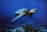 A green sea turtle cruises over a stony coral reef at a depth of approximately 40-feet, off Kona, Hawaii.