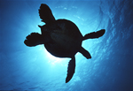 A green sea turtle is silhouetted underwater against the sun as it swims over a coral reef off Kona, Hawaii.