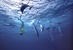 A woman free diver interacts with a pod of wild, but curious Atlantic spotted dolphins who engage in underwater play/mimicry at Little Bahama Bank, near Grand Bahama Island.