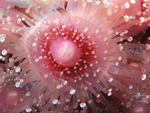 With its stinging tentacles extended, a pink club anemone feeds in the shadows of a giant kelp forest reef ledge (within a colony of other club anemones), in the Santa Barbara Channel, near Santa Barbara, California.