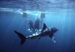 A large great white shark investigates a team of scientists, who observe from an experimental scientific shark cage which employs two Lexan/plastic see-thru walls at the Neptune Islands, South Australia.