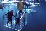 A large great white shark approaches a team of scientists as they observe from an experimental scientific shark cage with two walls constructed of bullet proof, see-thru Lexan plastic, at the Neptune Islands, South Australia.