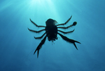 A pelagic crab, silhouetted against the ocean's surface sunlight,  swims in the open Pacific Ocean off the coast of Santa Catalina Island, California.