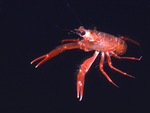 A pelagic red crab swims in the open Pacific Ocean near Santa Catalina Island, California.