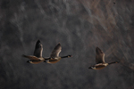 Canada geese flying towards a marsh