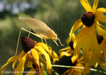 A yellow Katydid on cone flowers, photo from Lisa Loucks Christenson's Walk The Burn Documentary