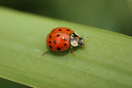 Photo 1/2 Lady Bug on Canary grass