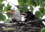 Lisa's Bald Eagle Documentary™, mother eagle with immature eaglet, SE Minnesota.