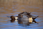 Northern Pintail drake stretching