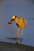 Yellow-crowned Night-Heron with crab