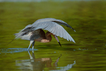 Reddish Egret foraging in shallows