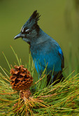 Steller's Jay in Ponderosa Pine