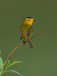 Wilson's Warbler on tundra shrub