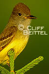 Great-crested Flycatcher on Norway Spruce