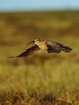 Whimbrel above tundra