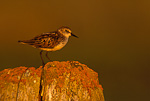 Semipalmated Sandpiper on driftwood, midnight sun