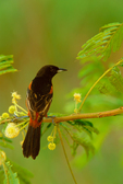 Orchard Oriole in flowering Tepeguaje (Lead Tree)
