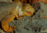 Land Iguana eating dried cactus flower