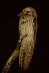 Northern Potoo hunting from snag at night