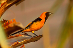 Hooded Oriole (male) singing from palm trunk