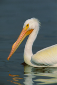 American White Pelican molting into breeding plumage